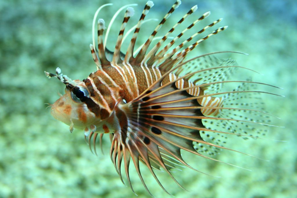 Spotfin lionfish WeFish MOST DANGEROUS FISH IN THE WORLD  Fishing app Wefish