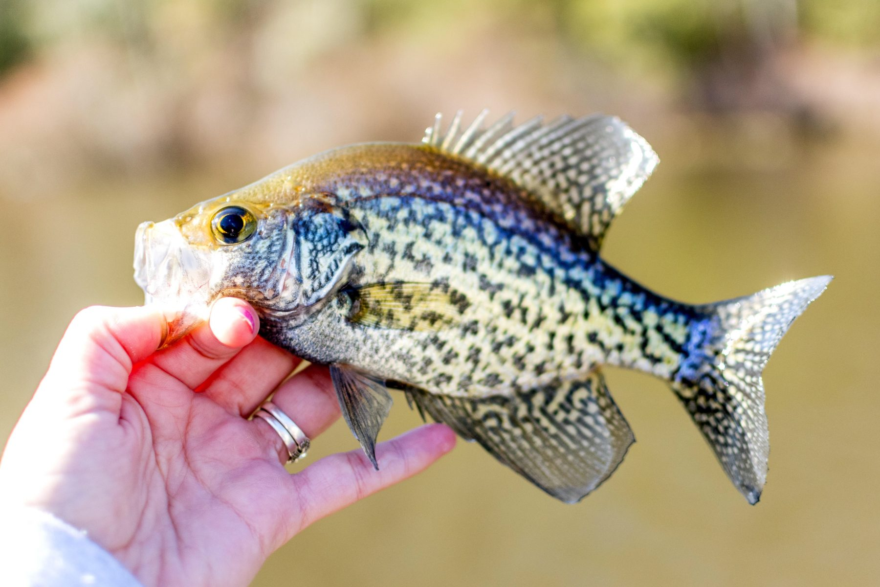 Crappie Fishing | How to Catch Crappies? Fishing app